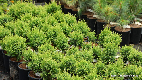 A globose conifer with fine, feathery foliage and cream-colored new growth.