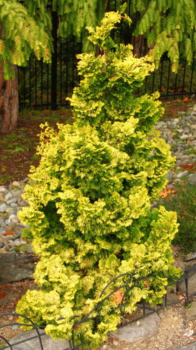 A dwarf yellow conical form with tight clumps of fan-shaped foliage. Will burn in full sun.