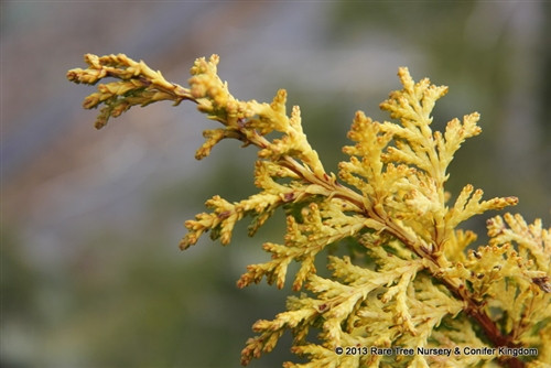 """An evergreen with a pyramidal form and flat golden fans of foliage. It's name 'Tetragona aurea' translates to """"4 rowed gold"""" which describes how the foliage is arranged on its limbs."""