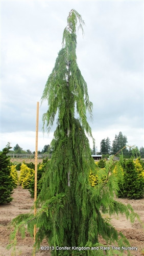 A columnar upright with weeping branches.  Blue-green foliage.  Can tolerate very shady sites. This species was formerly and is still commonly thought to be in the Chamaecyparis genus. However, it readily hybridizes with other species of Cupressus and bears many similarities, so it is now taxonomically classified as a species of Cupressus. In the past, it was also known as Xanthocyparis nootkatensis and Callitropsis nootkatensis.