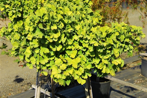 This slow-growing, globose ginkgo was found as a witch's broom. Bright green foliage turns a gorgeous yellow in fall. Very striking on such a dense variety!