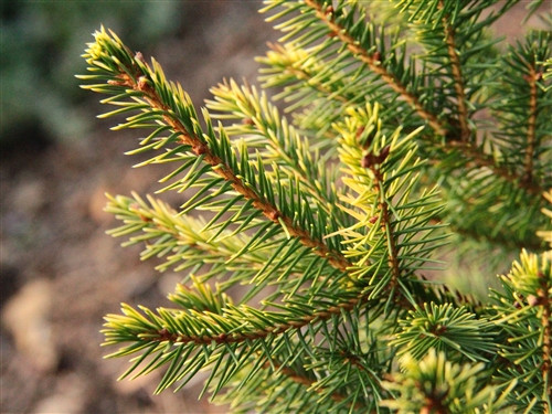 A rich, golden-yellow color on this slow-growing spruce. Found as a result of Bob Fincham's cross between 'Acrocona' and 'Gold Drift' but not readily distributed. A unique, slightly darker, amber color than many of the other seedlings.