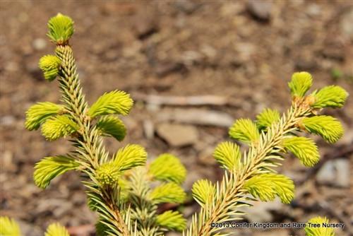 Picea abies 'Honey Pot'
