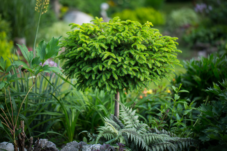 This globose conifer has short, light-green needles. The slow growth rate makes it a good plant for a rock garden or smaller landscape.
