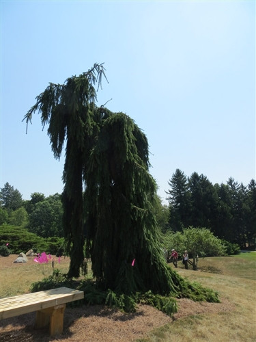 Pendula' has an upright leader that can be straight or at an irregular angle. All branches are pendulous. Overall plant shape can greatly vary depending on leader training.