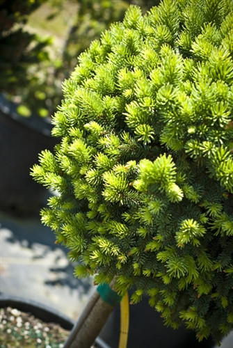 A dwarf cushion-form with bluish needles and distinct brown buds. Unlike varieties of Picea pungens that are blue, this Norway variety appears to have a small amount of green-leafed interior foliage, making the blue stand out!