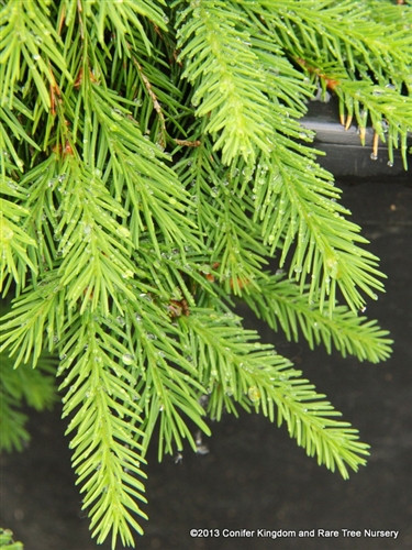 This narrow, weeping Norway Spruce has very fine, blue-green foliage. It was found by the manager at Mitsch Nursery, Susan Jones, as a chance seedling beneath 40+ year old Weeping Norway spruces.