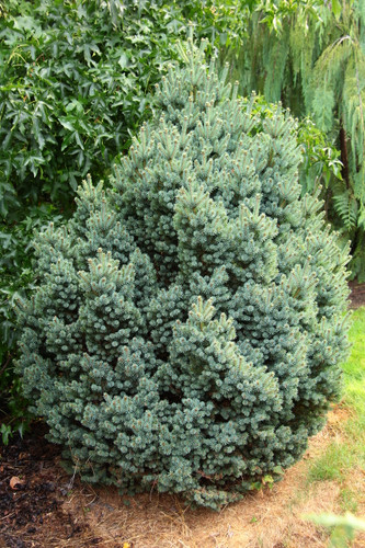 This upright-growing, dwarf conifer has bright blue-green foliage. Its dense habit will eventually form multiple leaders, giving a thick but compact appearance to this cultivar. Found as a witch's broom by Greg Williams.