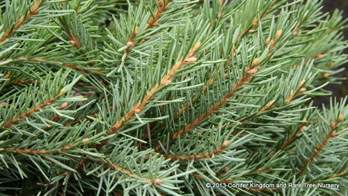 Relatively long, widely-spaced needles on this rare spruce from southern Oregon radiate around the short stems. A small plant that will develop a leader but can be pruned to stay very dwarf.