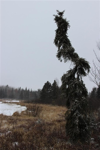 Picea mariana 'Nicolet Weeping'