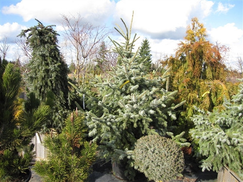 A relatively new introduction, this broadly conical, upright Serbian spruce has excellent color: outstanding light blue foliage with silvery-blue undersides. Our 8' tall stock plant is about 8' wide at its base.