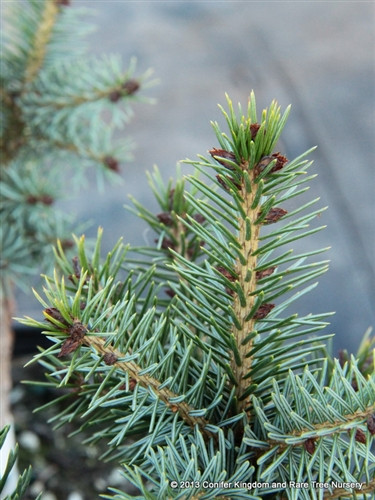 This dense, pyramidal upright tree has a nice form which allows the silver-blue undersides of the needles to be visible on the gently ascending branches. Its dense, narrow form and beautiful coloration make it an excellent dwarf that will not overtake even a smaller garden.