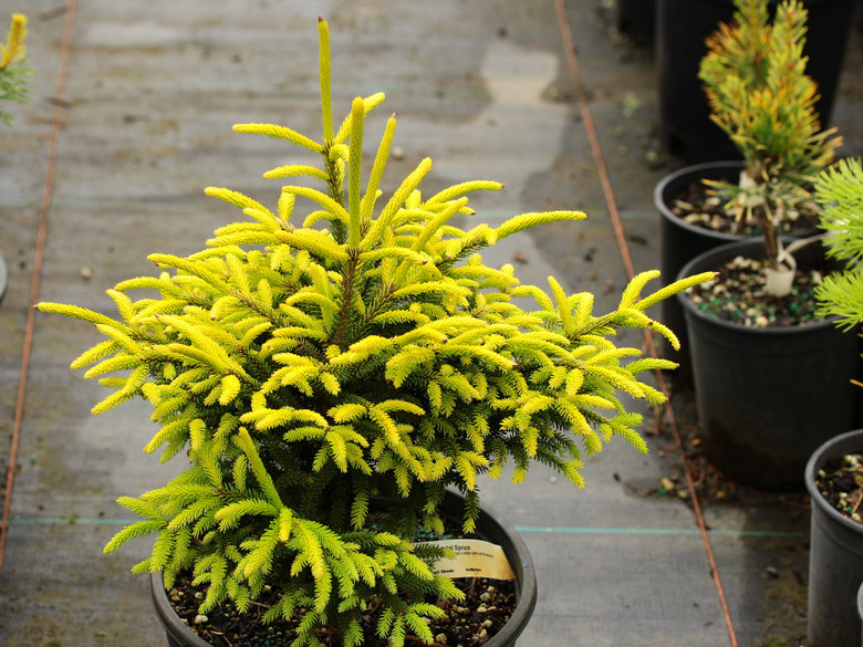 This new selection of Oriental Spruce was found as a seedling by Bob Fincham. It was named and introduced by Conifer Kingdom. We love this variety for its deep golden color and its growth rate much slower than that of its parent, 'Skylands'.