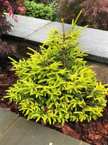 Picea orientalis 'Sunrise' _ Oriental Spruce _