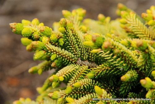 This dwarf, golden spruce was found as a witch's broom on Picea orientalis 'Skylands'. It resembles all of the foliage characteristics of its parent tree. However, it does not develop a leader, keeping it a small, dwarf bun of bright golden foliage. It will suffer some burning in full sun.