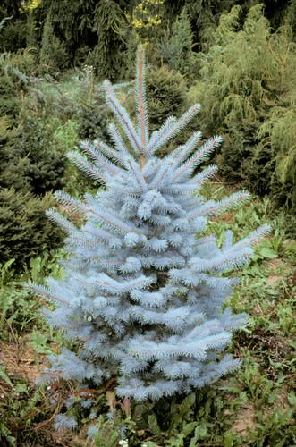 Picea pungens 'Edit'