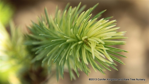 Light, blue-green foliage is painted with a colorful, creamy variegation. The contrast is very ornamental and the slow, dwarf growth of this conifer makes it a prized new selection from Europe.