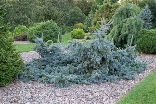 A prostrate form with powder-blue foliage. Branches creep along the ground and tips swoop up, making a graceful undulating form. Similar to 'Glauca Prostrata' but does not typically develop a leader or upright growth habit.
