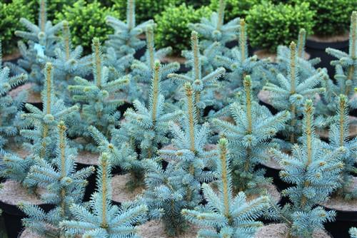 Picea pungens 'Filip's Blue Compact'