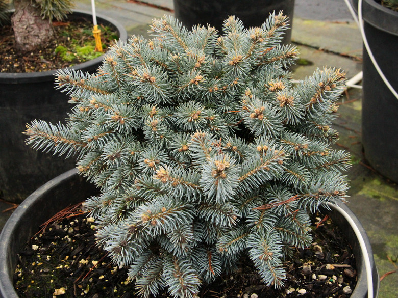 This incredibly bright-blue spruce was found as a seedling in upstate New York by Pete Gerard. It has a nice, slow growth rate and outstanding color.