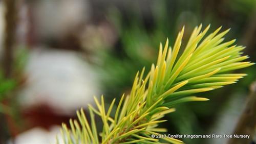 Picea smithiana 'Sunray'