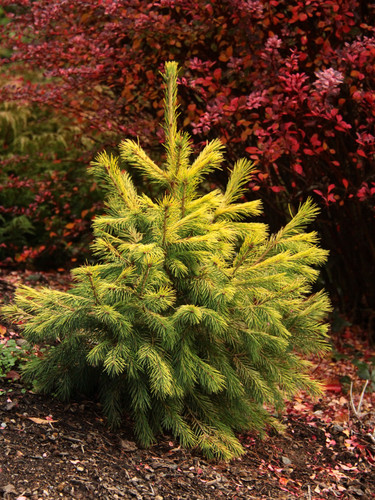 Long, thin needles drape gracefully from the branches of this upright, pyramidal dwarf spruce. Golden-yellow color is present throughout the year, making this unique and rare spruce even more eye-catching.