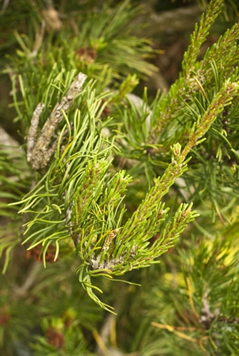 This Jack pine has an upright leader and pendulous side branches that do not twist. Its habit is broader with more pendulous branches than 'Uncle Fogy' or 'Bush's Twister, characteristics that distinguish the slow-growing conifer from others. Some say th
