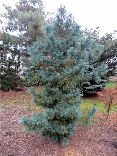 "One of our all-time favorites, the long and showy, silver-blue needles are displayed on an elegant, conical tree. We love the very appropriate name and of course the plant itself. Introduced in the late 70's to early 80's, it is the standard in Europe. Its tight, fist-size pine cones have the look for which ""pine-apple"" was named. Plant several for a tall, dense screen or just one as a beautiful specimen."