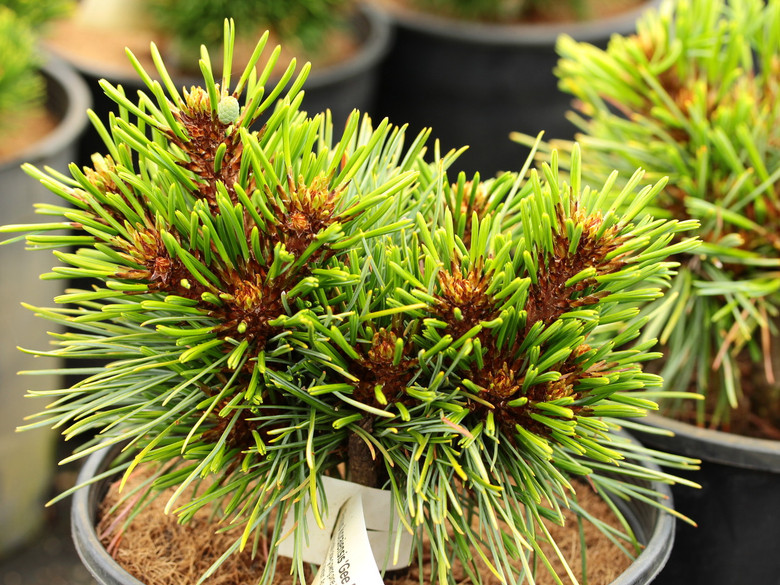 This incredibly slow-growing pine has soft, blue-green needles. It was discovered by Gary Gee as a witch's broom on Pinus koraiensis 'Winton'. An excellent dwarf conifer that does well when dead, interior needles are removed before spring.
