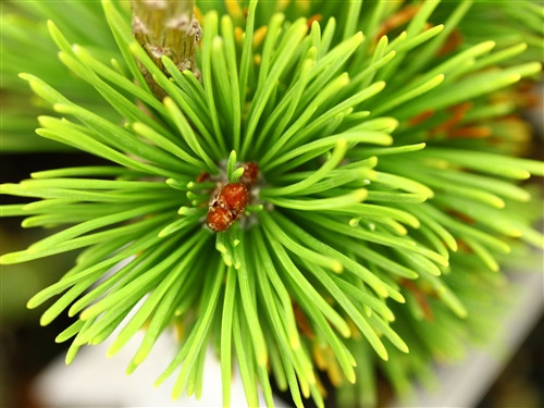 A rich, golden-yellow, mounding conifer with a dense habit and slow growth rate. The color is most intense in winter. Perhaps one of the slowest-growing golden varieties of Mugo Pine!