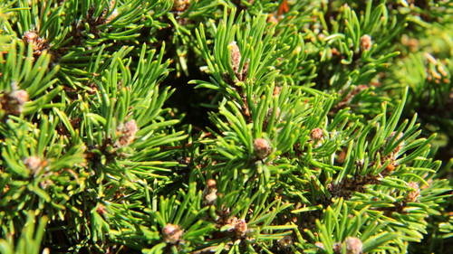 Tiny light-green needles on a very short bun form. Miniature and great for bonsai.