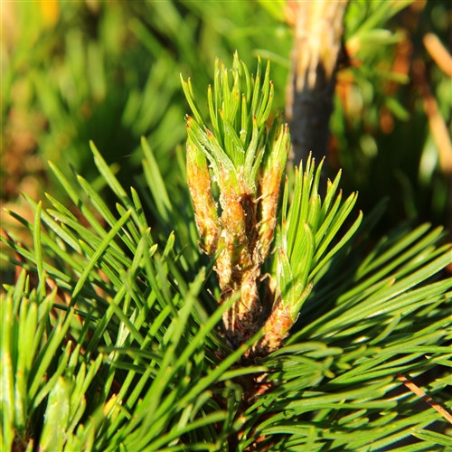 Dark-green needles of two different lengths give this dwarf, globose pine a fascinating texture. Needles from the previous year's growth are longer and have a slight twist while the needles at the branch tips are much shorter, borne in tight clusters.
