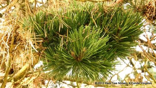 Pinus nigra 'Chemeketa'