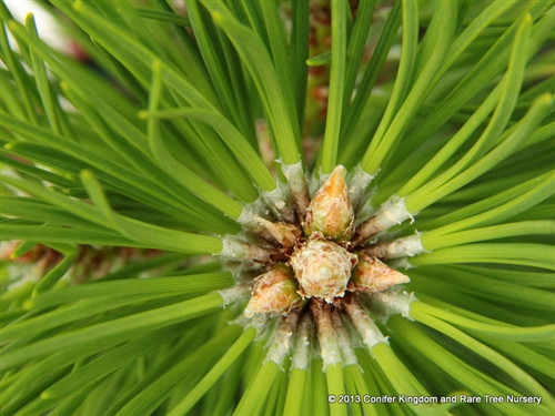This thick, heavily-branched pine has a beautiful dark-green color that makes it an excellent and very handsome shrub with new growth having prominent sheaths at the base of each needle fascicle.