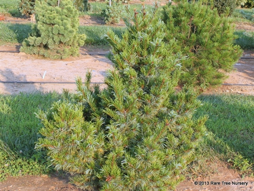 A pyramid with twisted blue-green needles.  Male pollen cones are profuse and bright red in the spring.  The red pollen cones are typical of Pinus pumila - which this cultivar might belong to.  Either way, this is one of the finest cultivars of parviflora or pumila.  Also known as 'Bergmani.'  Introduced by Fred Bergman at Raraflora Nursery in Feasterville, Pennsylvania.