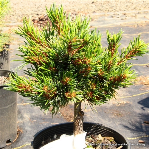 A dense squat bun to spreading form with blue-green needles. A cultivar new to us, seems promising! Also known as 'Myojo.'