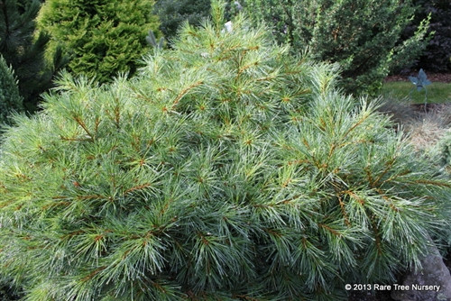 "Blue Shag is a fitting name for this fine globose form of Eastern white pine, which is a dense, wide bush with lush blue-green needles. Selected by Dr. Sidney Waxman at University of Connecticut in 1986 from research that introduced over twenty selections of Pinus strobus to the nursery trade. The low pine grows up to 6"" per year."