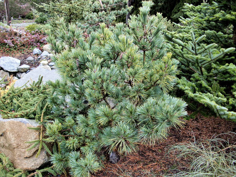 This mounding, upright conifer has exceptional silver-blue foliage that looks like slate. A brand new selection from Michigan.