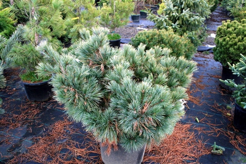 A globose form with long blue-green needles. Needles are longer than other globose Eastern white pines, giving an especially soft appearance. Selected by Rich Eyre of Rich's Foxwillow Pines, Woodstock, IL.