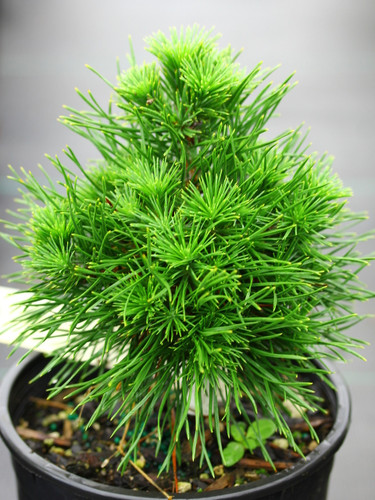 Dense, thick needles on this upright, bushy pine give the plant the appearance of a penguin. A very distinctive pine with a clever name.