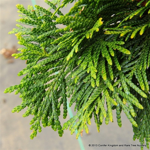 "A dwarf western red cedar with tight foliage forming a globose shrub. Rich green to dark green foliage darkens in winter. Name means ""Green Ball"" in German."