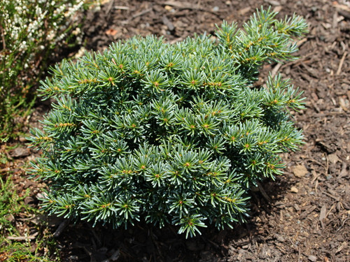 A compact, globose fir with bright blue foliage. Found in Germany as a witch's broom on 'Blauer Pfiff'. It makes a nice substitute for Abies procera 'Blaue Hexe' which has proven difficult to grow.