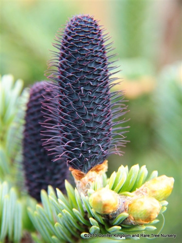 Native to China at altitudes of about 12,000 feet, this rare upright fir has incredible copper-red peeling bark even on trees that are only about 6 years old.  Dense, dark green needles have silvery undersides, and outrageous purple cones put on a show in spring and early summer.