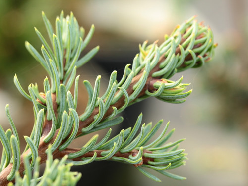 Congested growth on this upright fir has a nice bluish-green color. Short side branches emerge from a thick, central leader, giving a tail-like appearance to the branches radiating from the trunk.
