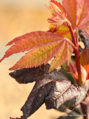 Large burgundy leaves are more colorful in full sun. Fall colors are brilliant red to orange.