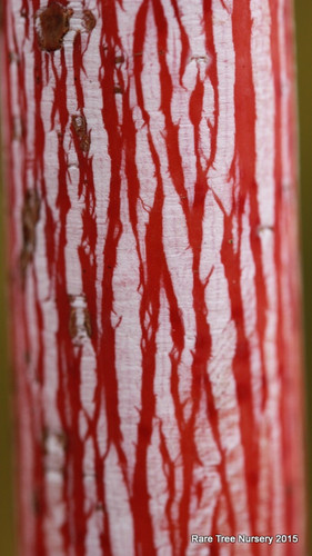Red and white striped bark are prized in the winter garden! Leaves are green in the summer, bright yellow fall color.