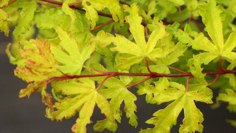 This slow-growing maple has very light colored leaves with a yellowish tone in summer. Leaf margins are highlighted by a bright reddish color, giving a nice contrast.