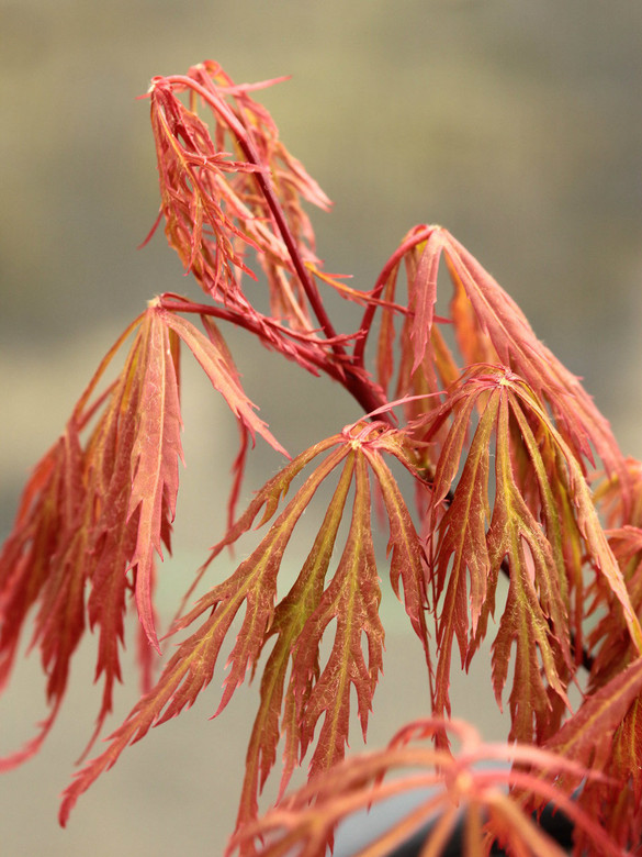 The delicate texture of this laceleaf maple is accented in spring by its bright orange-red growth, and later in fall by its fiery orange autumn color. A beautiful combination of attributes.