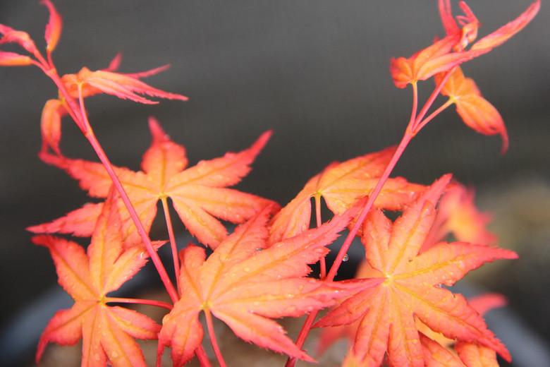A very colorful Japanese maple with bright, coral-colored foliage that has tones of pink and orange throughout the growing season, especially stunning in spring.