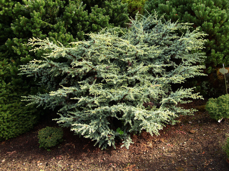 A low-growing cedar with bright silver-blue foliage that is very dense. A difficult one to propagate! Fascinating form and color make it rather desirable.